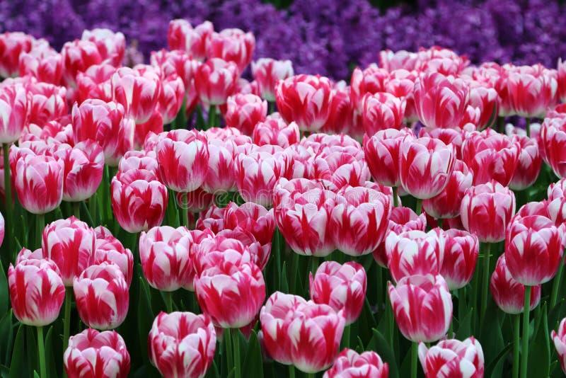 Tulipan 1 Caramba zdjęcia stock