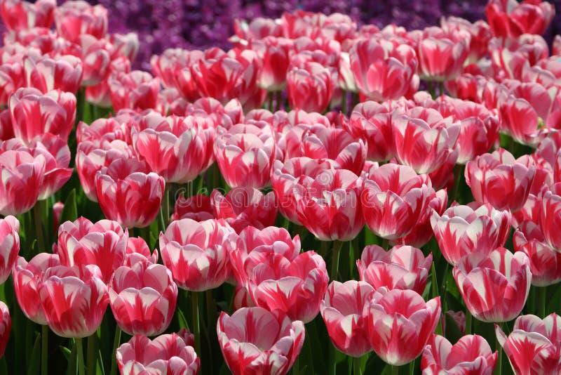 Tulipan 2 Caramba obrazy stock
