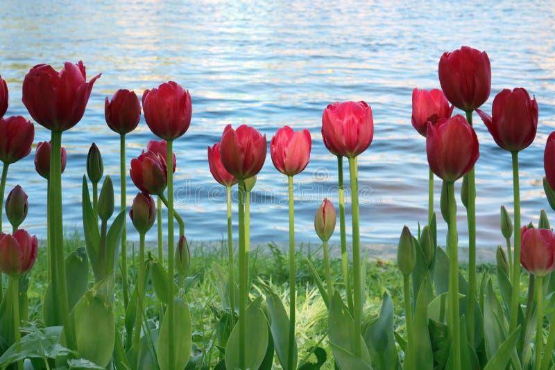 Tulipan czerwień iluminująca promieniem światło Środkowy kwiat na wodnym tle fotografia royalty free