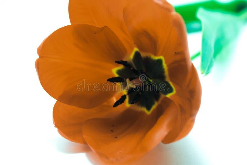 Tulipan czerwony obrazy stock
