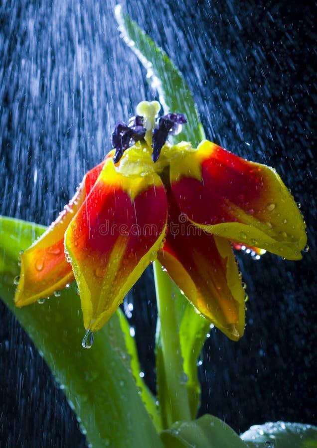 tulipan deszcz zdjęcia royalty free