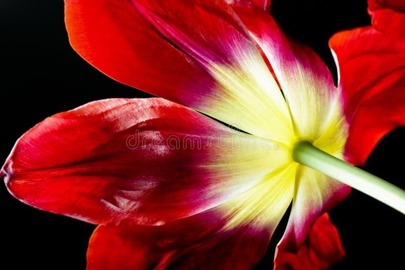 tulipan kwiatów zdjęcie stock
