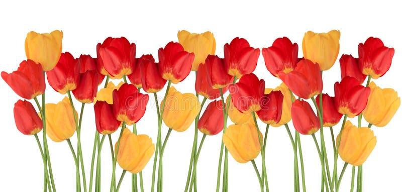 Tulipan linia obrazy royalty free