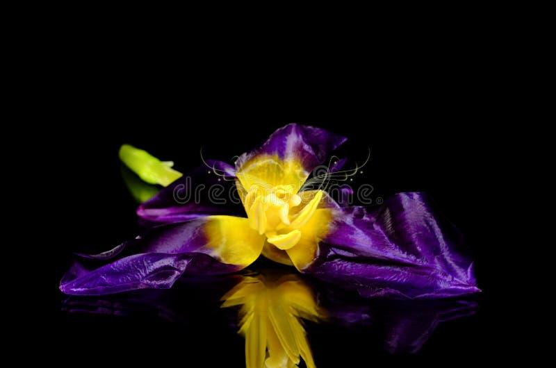 Tulipan na czarnym tle