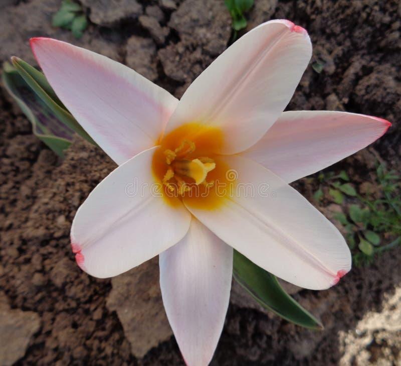 Tulipan na początku wiosny obrazy royalty free