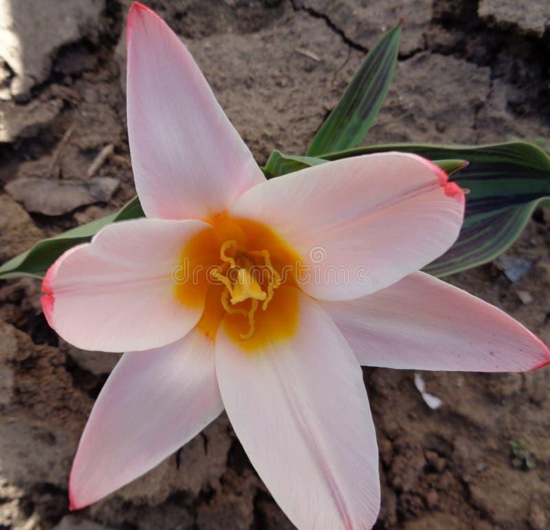 Tulipan na początku wiosny zdjęcie stock