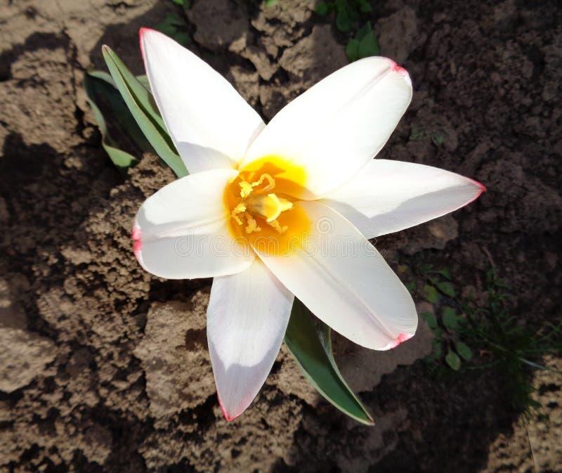 Tulipan na początku wiosny obraz stock