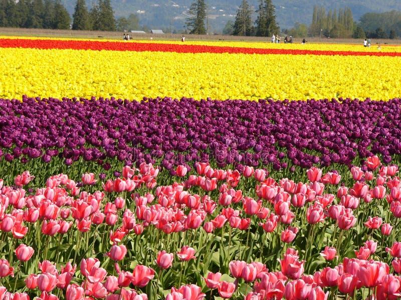 tulipan pola fotografia stock