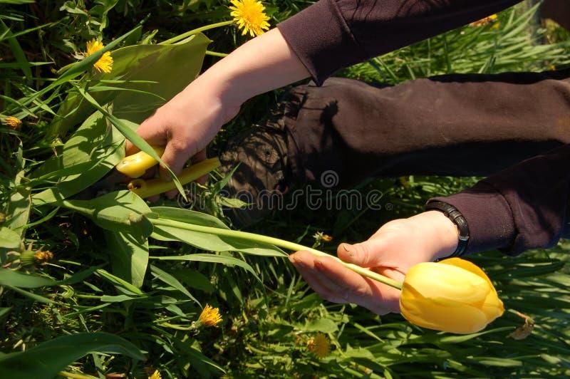 tulipan rozbioru obrazy royalty free