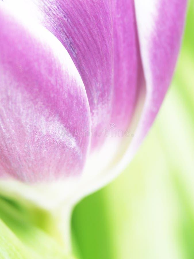 Tulipan (Tulipa 72) () obraz royalty free