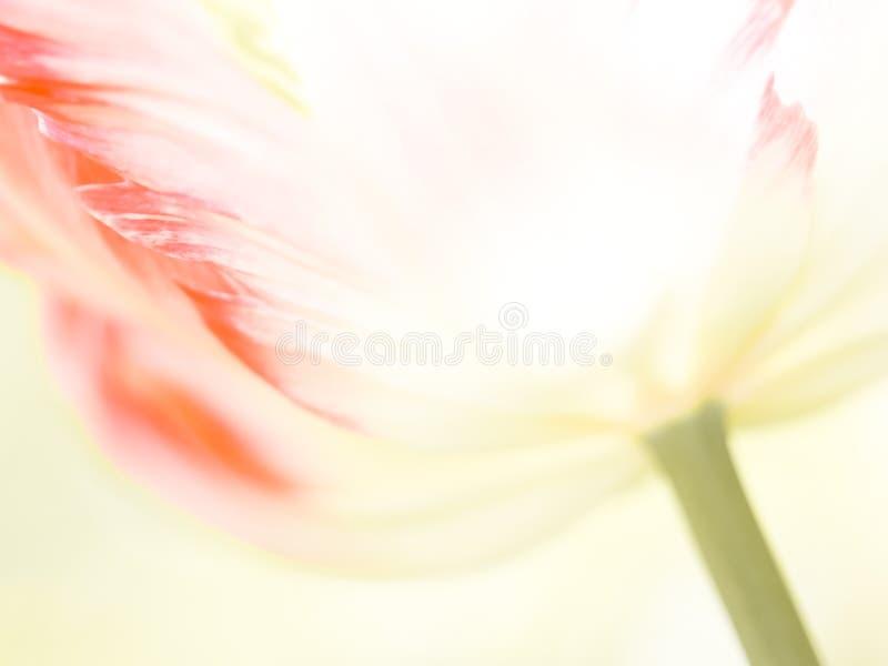 Tulipan (Tulipa 91) (), zakończenie zdjęcie royalty free