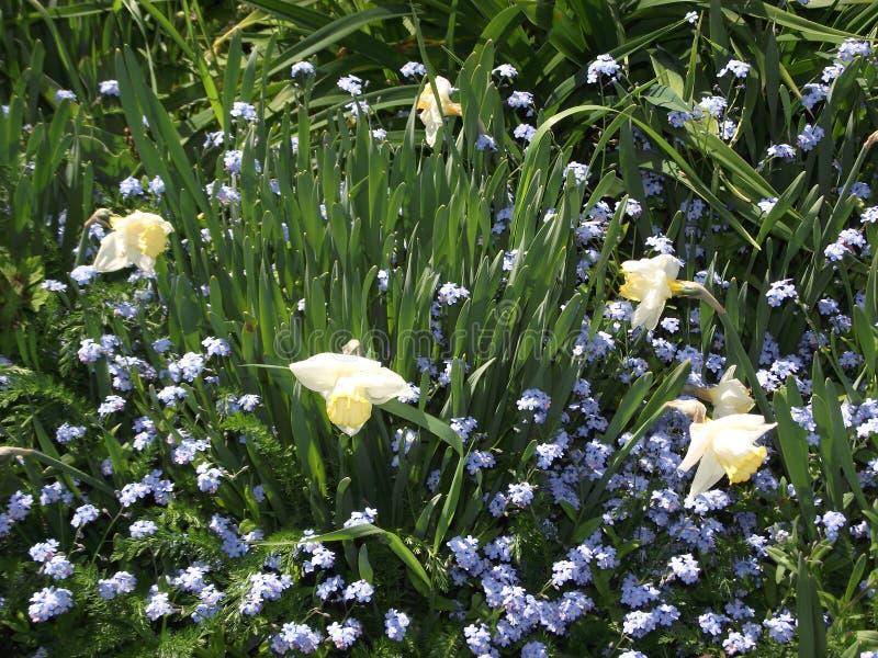 Tulipan w błękitnych kwiatach obrazy royalty free