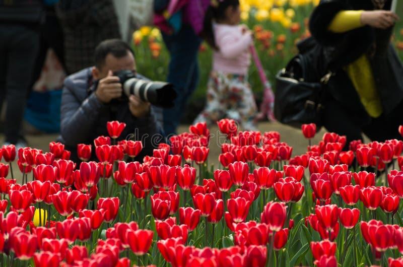 Tulipan w Chiny fotografia stock