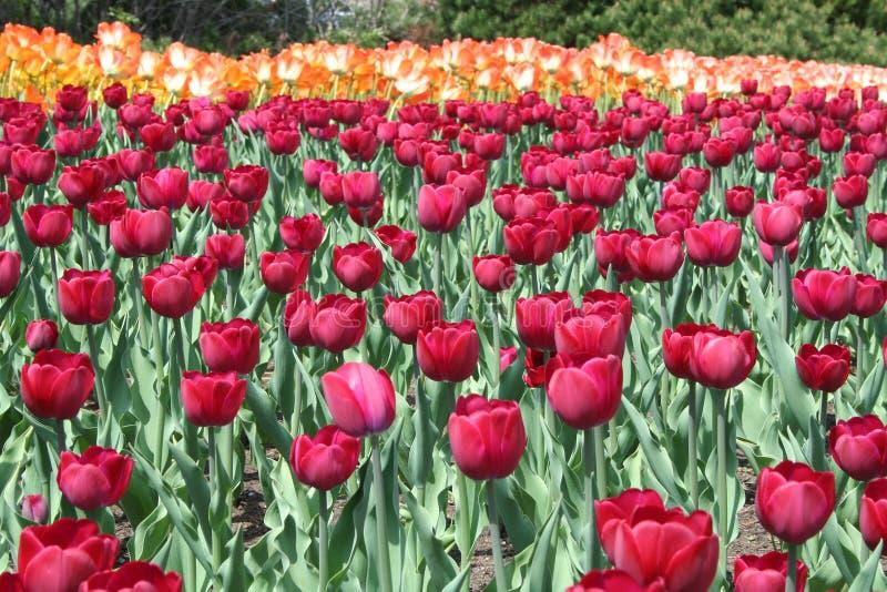 Tulipan w Gatineau Kanada, północny Ameryka fotografia stock