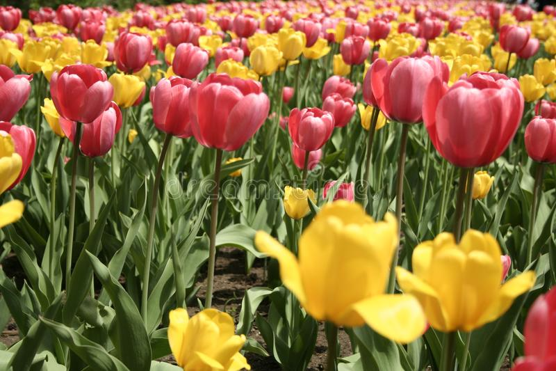 Tulipan w Gatineau Kanada, północny Ameryka obraz royalty free