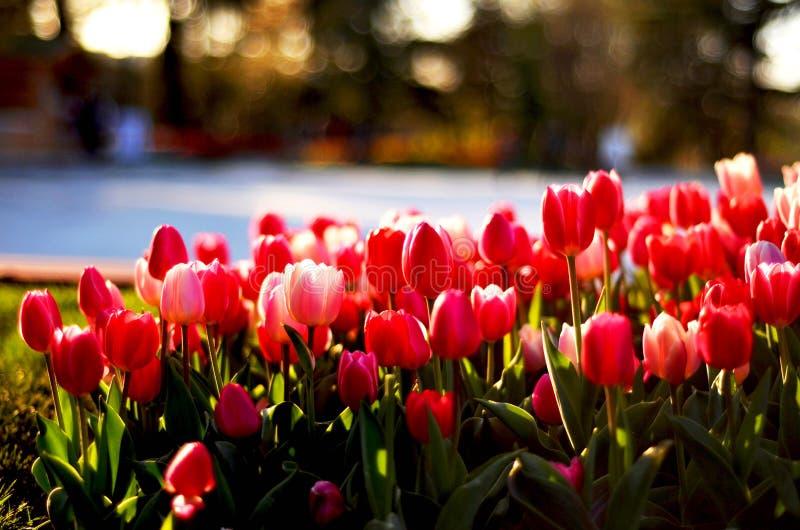 Tulipan w Istanbuł obraz stock
