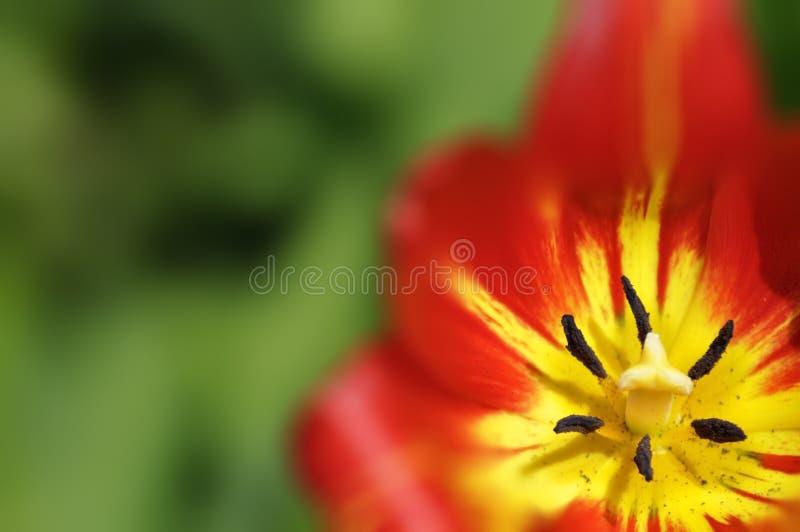 Tulipan w ogródzie obraz royalty free