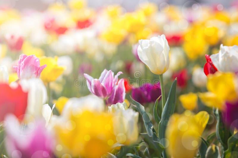Tulipan w wiośnie pod słońce promienia, Pięknego i colourful tulipanem dalej, obraz stock