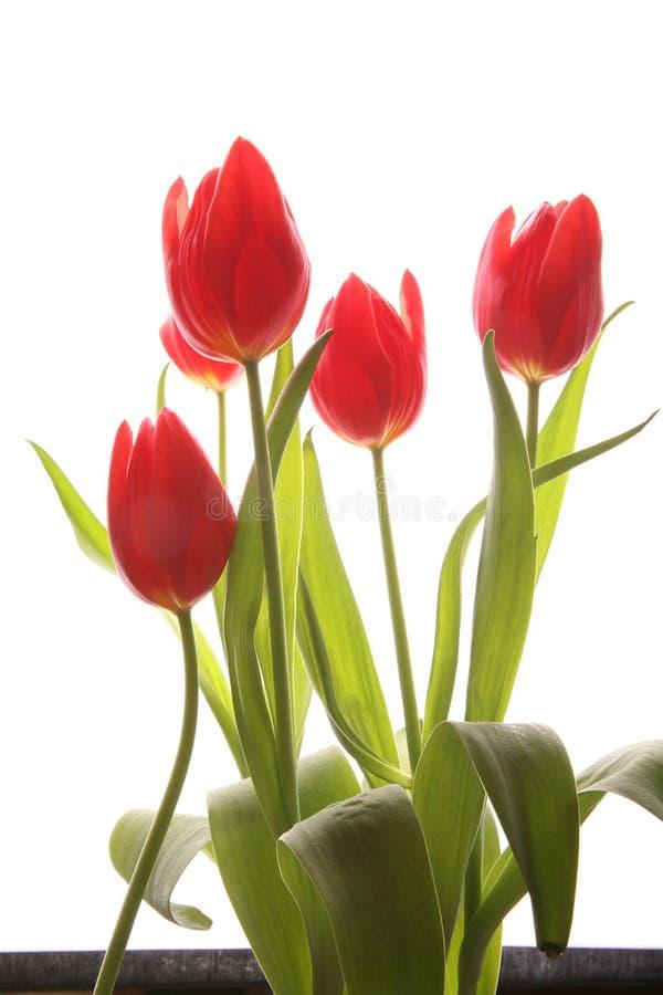 tulipan wiosna obraz stock