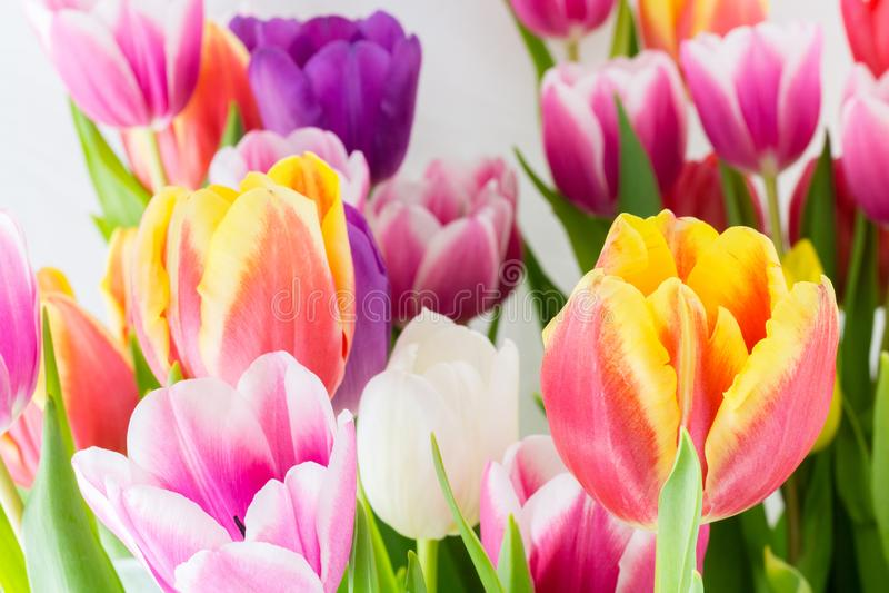 Tulipan wiosny kolorowi kwiaty różowią czerwonego kolor żółtego i zieleń obrazy stock
