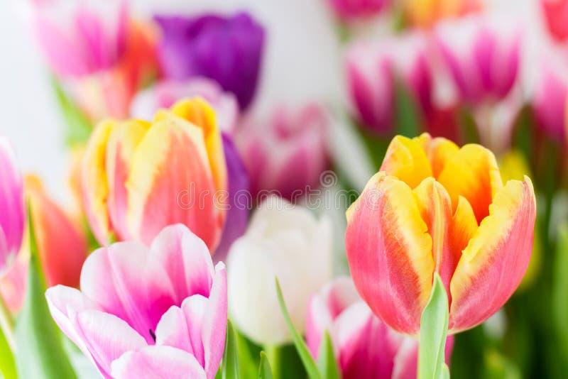 Tulipan wiosny kolorowi kwiaty różowią czerwonego kolor żółtego i zieleń fotografia stock