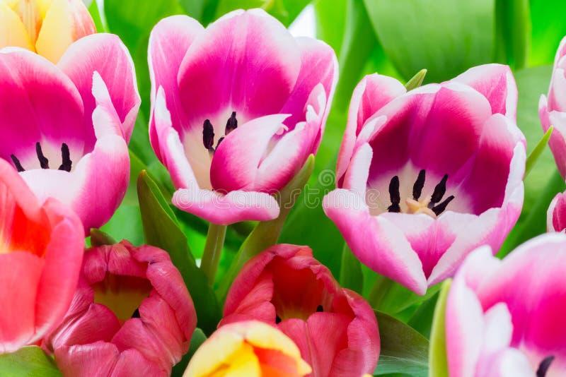 Tulipan wiosny kolorowi kwiaty różowią czerwonego kolor żółtego i zieleń zdjęcia royalty free