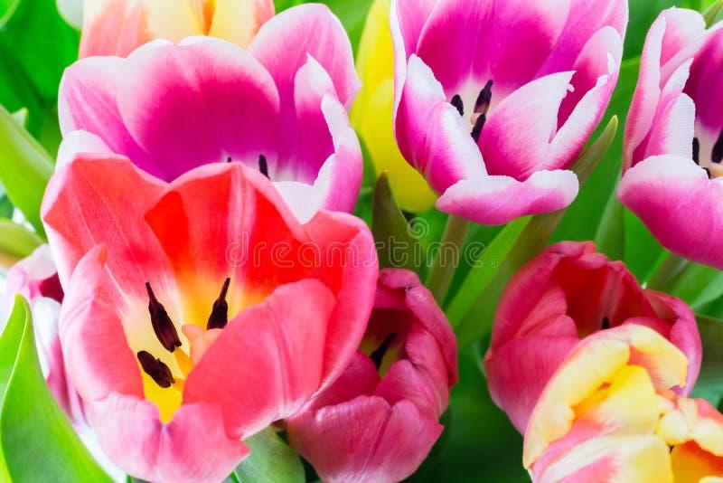 Tulipan wiosny kolorowi kwiaty różowią czerwonego kolor żółtego i zieleń obraz stock