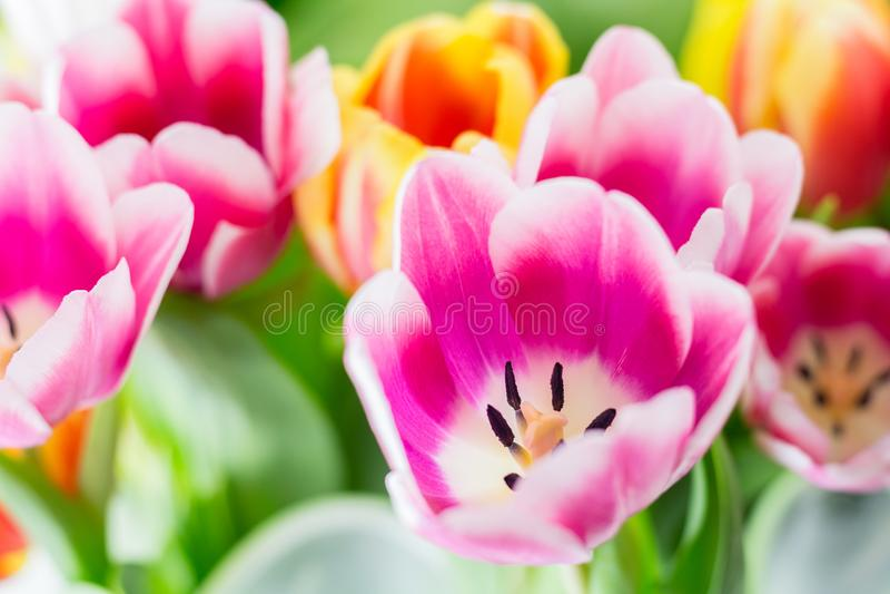Tulipan wiosny kolorowi kwiaty różowią czerwonego kolor żółtego i zieleń obraz royalty free