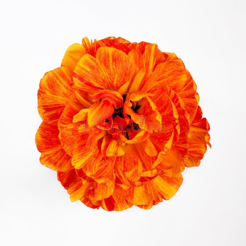 Tulipan zamknięty w górę odosobnionego białego tła na Jaskrawy piękny żółty pomarańczowy Terry Tulipanowy odgórny widok kwiat odi obrazy stock