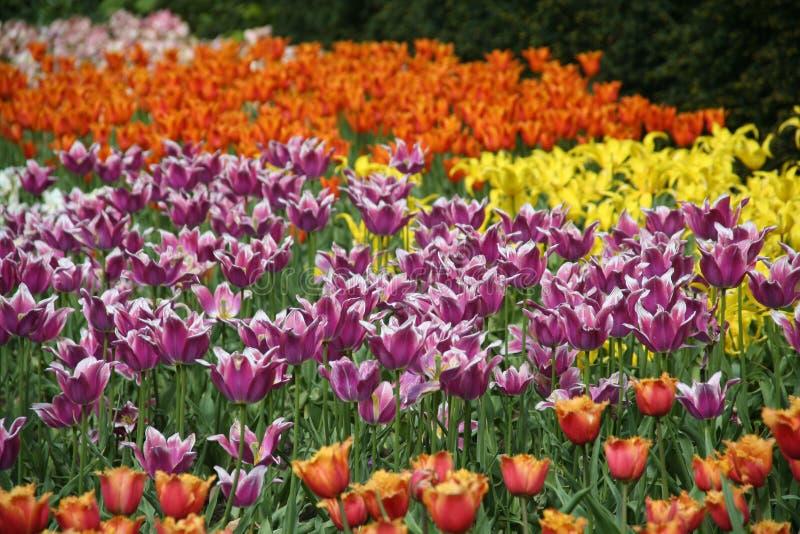 Tulipanes 1 fotografía de archivo libre de regalías