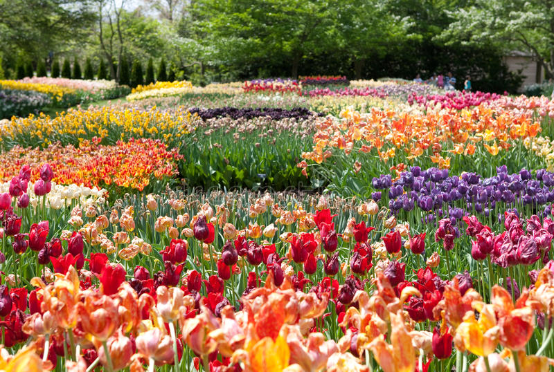 Tulipanes fotografía de archivo libre de regalías