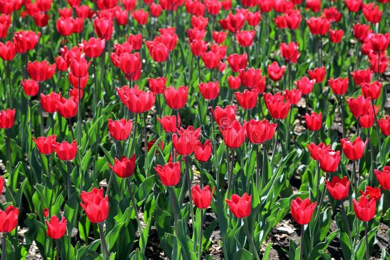 Download Tulipanes foto de archivo. Imagen de tulipanes, florecimiento - 41911936