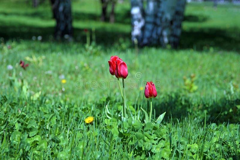 Download Tulipanes imagen de archivo. Imagen de tulipán, colorido - 42433901