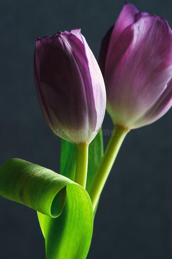 Download Tulipanes foto de archivo. Imagen de textura, pétalos - 44851272