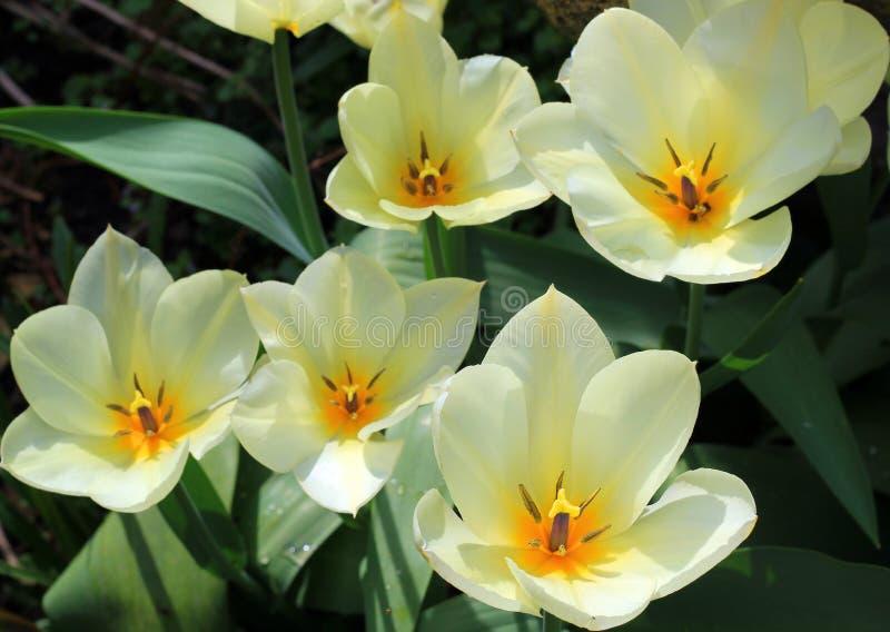 Tulipanes abiertos del amarillo brillante en el sol. imagenes de archivo