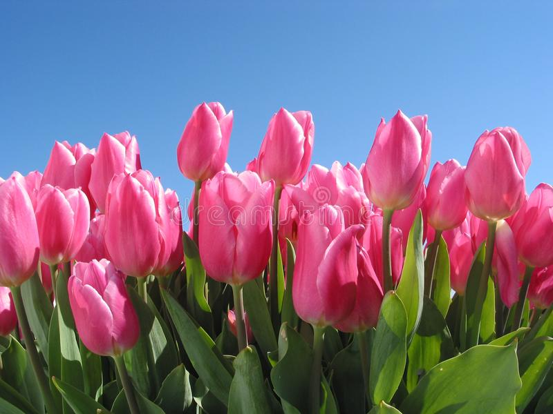 Tulipanes abigarrados con rosa ligero y oscuro contra un cielo azul imagen de archivo