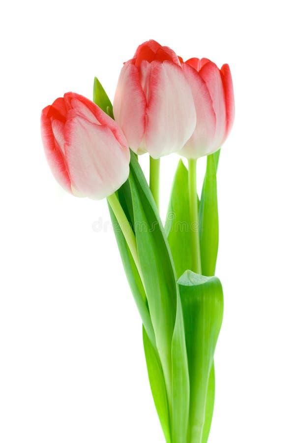 Tulipanes aislados foto de archivo