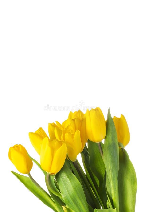 Tulipanes aislados amarillo con las hojas verdes imágenes de archivo libres de regalías