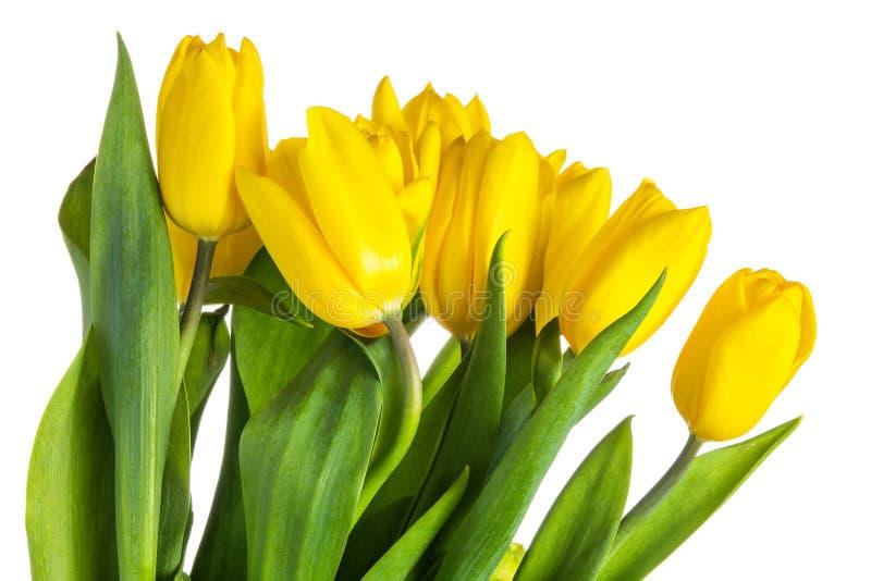 Tulipanes aislados amarillo con las hojas verdes imagen de archivo