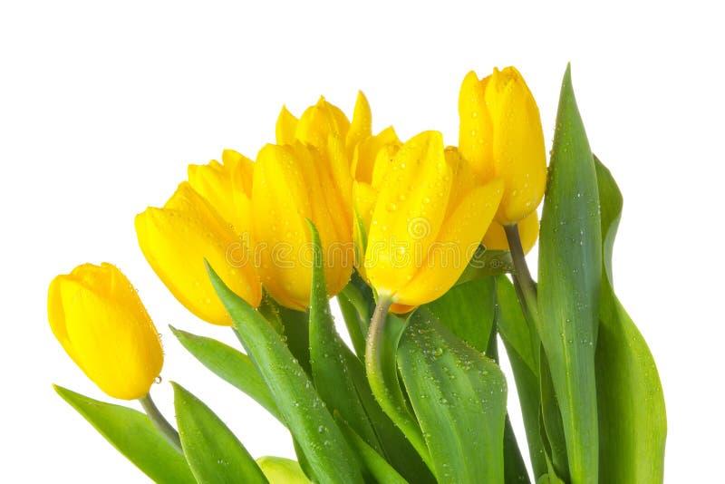 Tulipanes aislados amarillo con las hojas verdes foto de archivo