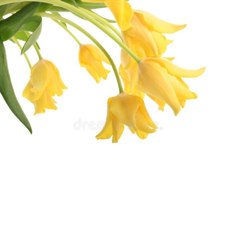Tulipanes aislados en blanco imagenes de archivo