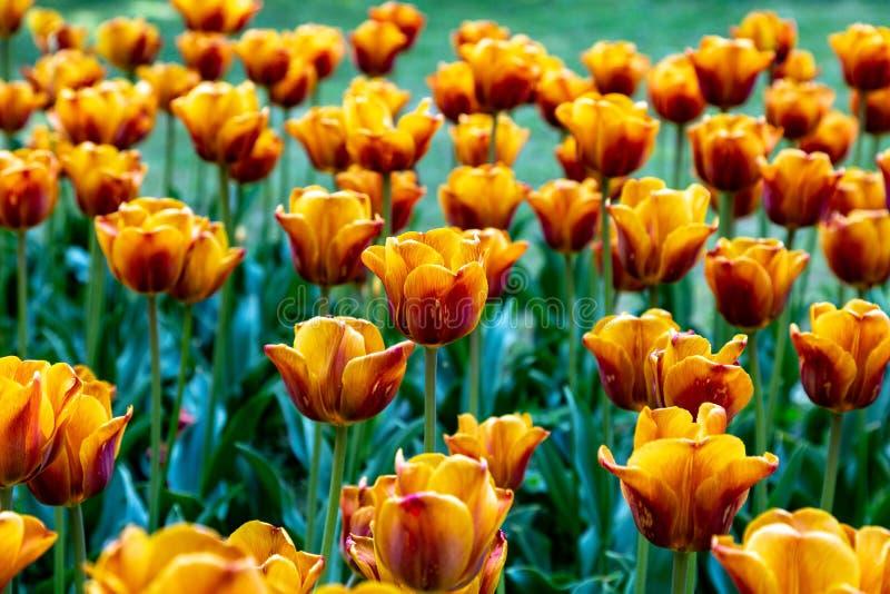 Tulipanes amarillo-naranja en una cama de flor imágenes de archivo libres de regalías