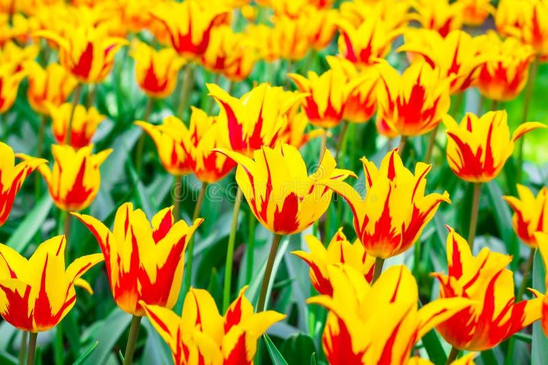 tulipanes Amarillo-rojos en un día soleado foto de archivo