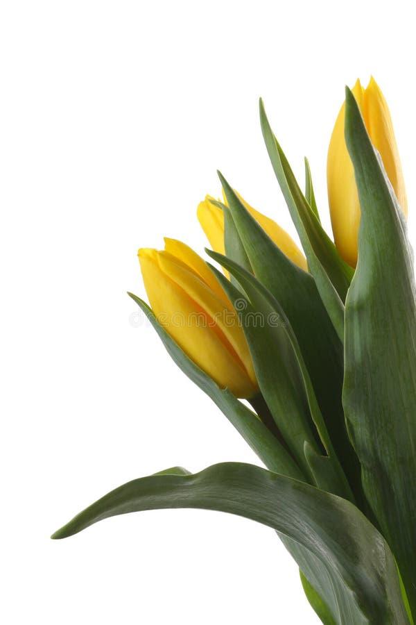Tulipanes amarillos. imagen de archivo libre de regalías