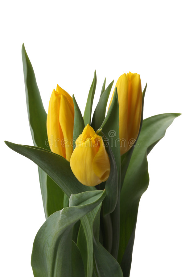 Tulipanes amarillos. imágenes de archivo libres de regalías