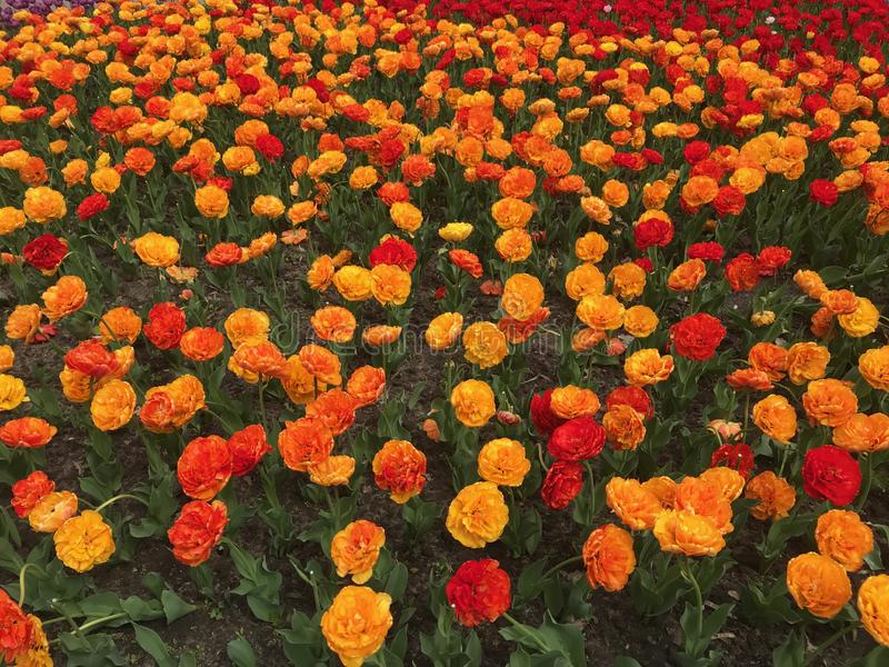 Tulipanes amarillos, anaranjados y rojos coloridos Fondo floral Cama de flor del tulip?n fotos de archivo