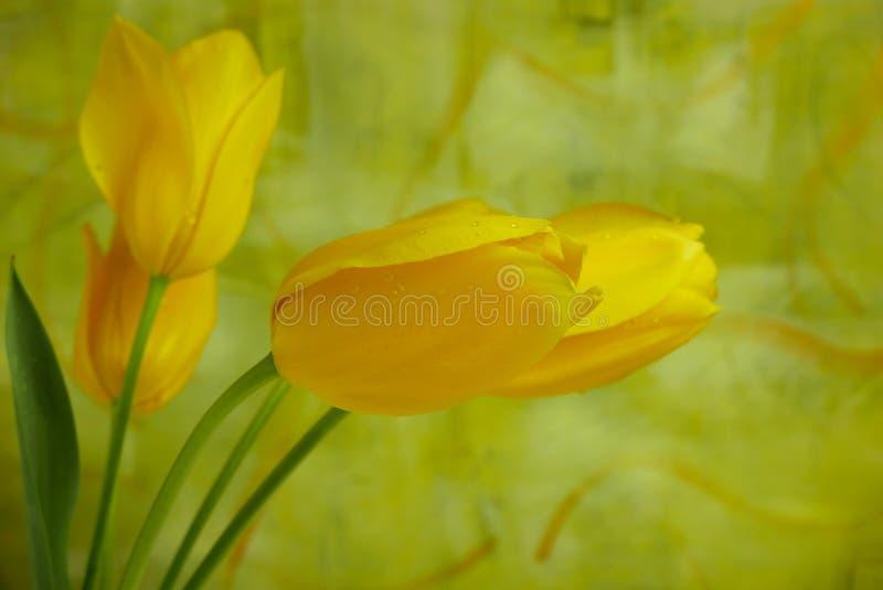 Tulipanes amarillos brillantes contra una pared abstracta brillantemente pintada imagenes de archivo