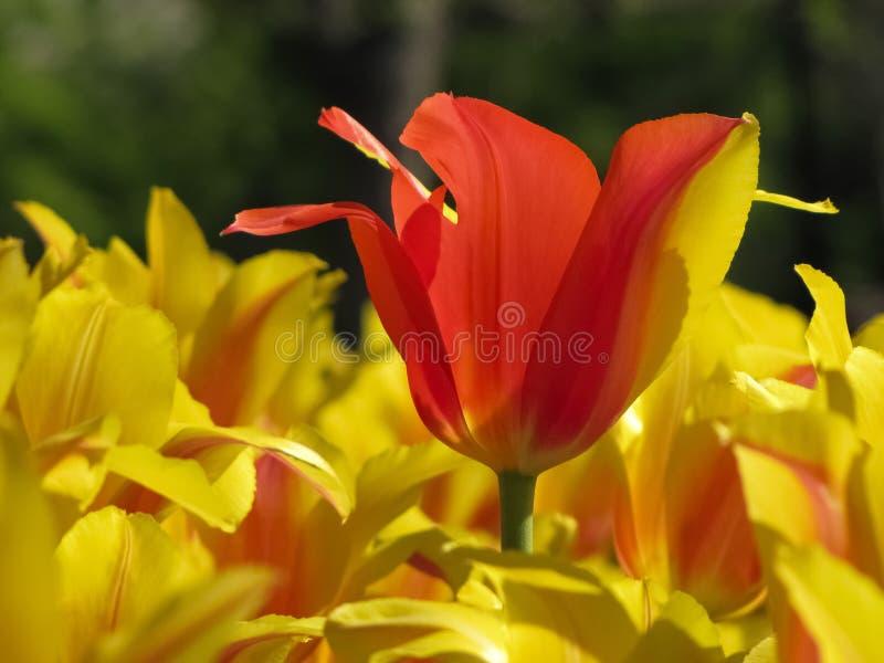 Tulipanes amarillos con el tulipán rojo parcial aislado imagenes de archivo