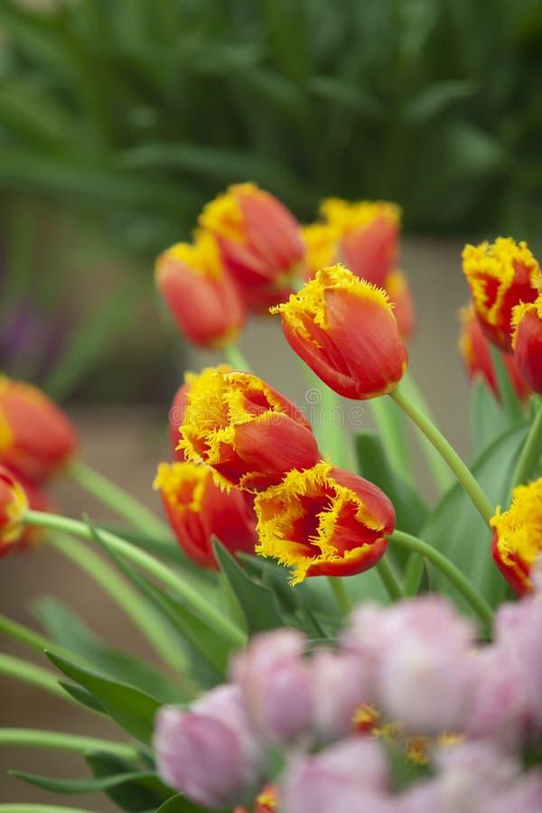 Tulipanes amarillos de la mezcla roja imagenes de archivo