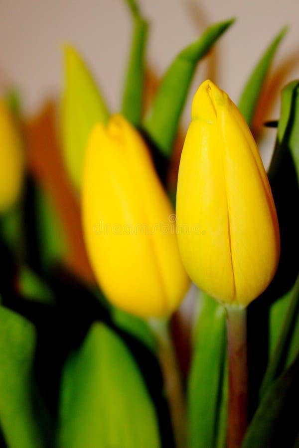 Tulipanes amarillos de la primavera fotografía de archivo